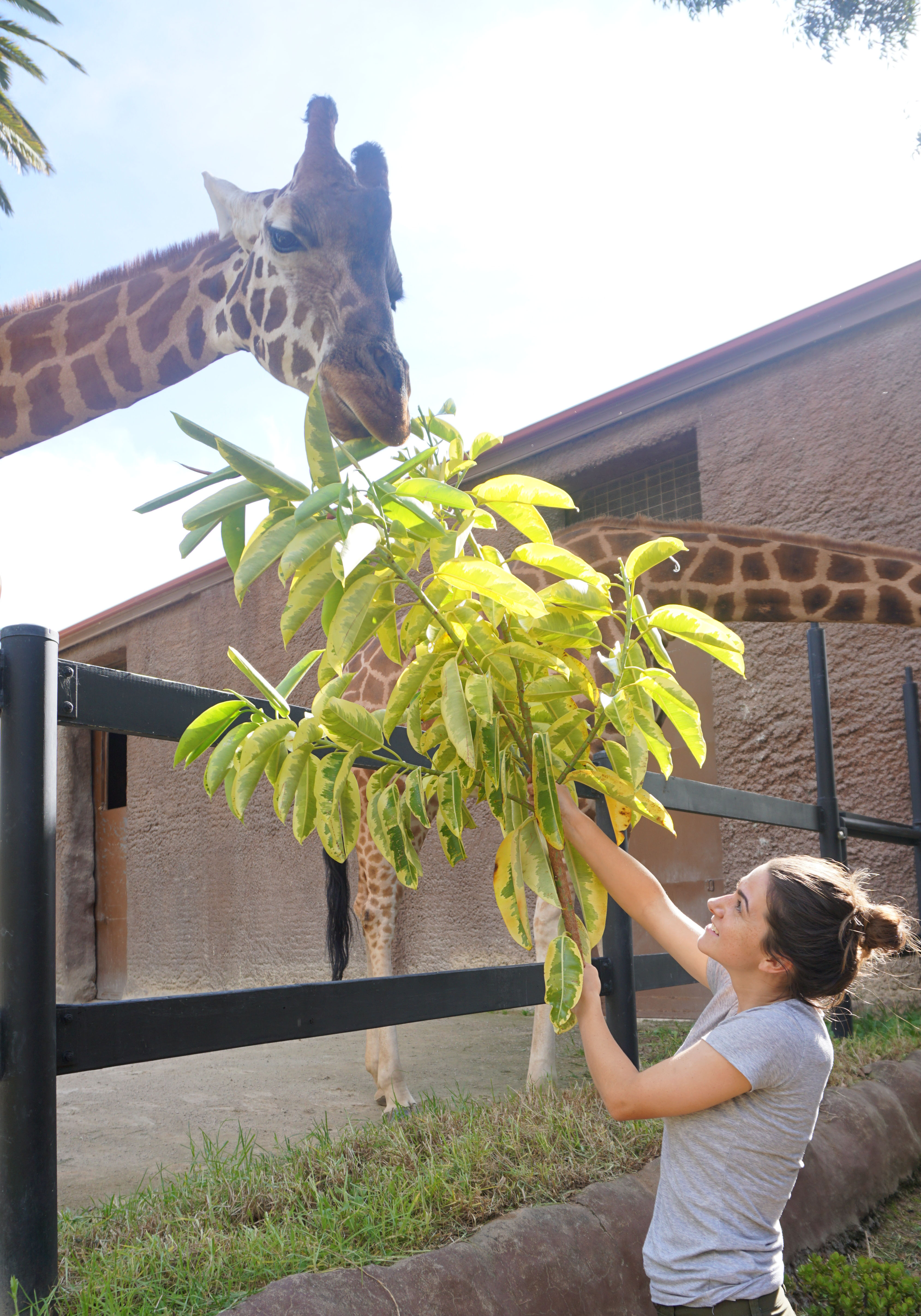 Feeding Giraffes during the zoo keeper for a day tour